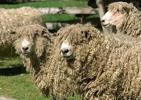 10 Most Popular €�sheep Breeds' Raised For Meat And Wool
