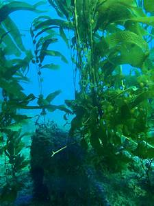 New View Of Undersea Giant Kelp Forest  U0026quot Canopy U0026quot