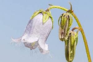 Welche Kräuter Sind Winterhart : glockenblume diese sorten sind winterhart ~ Pilothousefishingboats.com Haus und Dekorationen