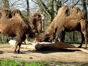 Course De Chameau : chameau d finition et recettes de chameau supertoinette ~ Medecine-chirurgie-esthetiques.com Avis de Voitures