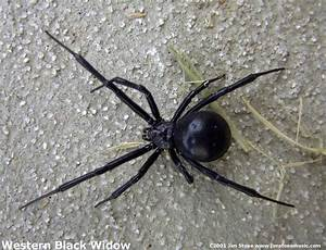 The 5 deadliest spiders