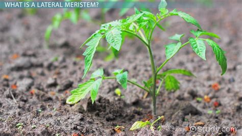 lateral meristem definition concept video lesson