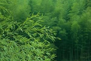 Bambus Im Garten Vernichten : ist bambus winterhart roter bambus winterhart oder ~ Michelbontemps.com Haus und Dekorationen