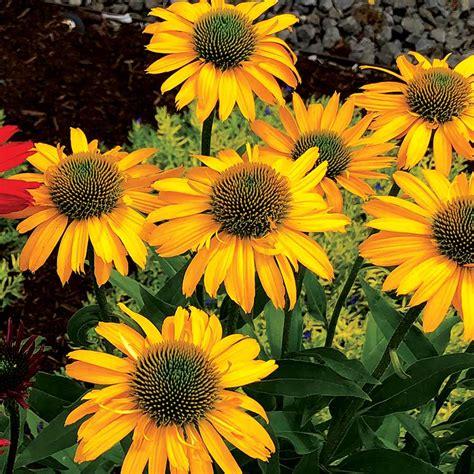 Echinacea KISMET® Yellow | TERRA NOVA® Nurseries, Inc.