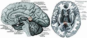 The Splenium Of The Corpus Callosum  Marked In Orange
