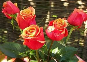 1 Rote Rose Bedeutung : 39 kirschrosen 39 e card rosenblumenstrauss ~ Whattoseeinmadrid.com Haus und Dekorationen