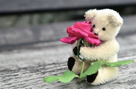 picture teddy bear roses flower leaf petal