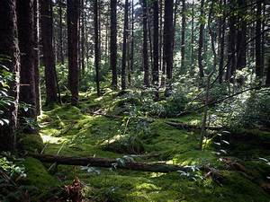 Timber Stand Improvement For Red Spruce Trees