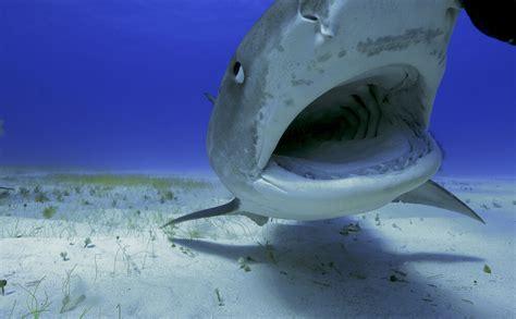 Skaidrojam, vai Baltijas jūrā patiešām mīt haizivis - Jauns.lv