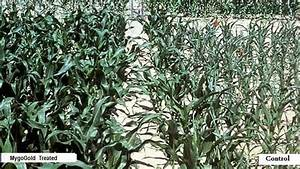 South African anti-GMO activists hide fact drought ...