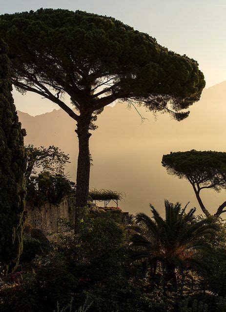 italian pine tree 12 best images about drzewa on trees rome 7609
