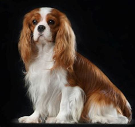 Springer Spaniel Shedding Level by Cavalier King Charles Spaniel Dog Breed Profiles