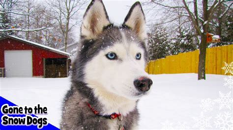 siberian husky plays  deep snow snow dogs   snow