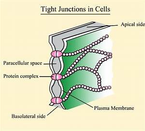 Tight Junctions  Location  Structure  And Function