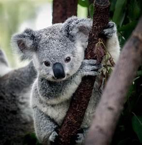 Pin Cute Baby Koalas Koala Sleeping Funny 4 Doblelolcom on ...