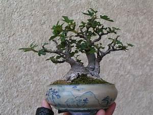Profondeur Des Racines D Un Figuier : volution d 39 un figuier page 2 le coin des shohin et mame forums parlons bonsai ~ Nature-et-papiers.com Idées de Décoration