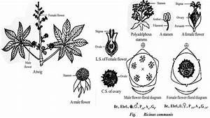 Botanical Description And Economic Importance Of Ricinus