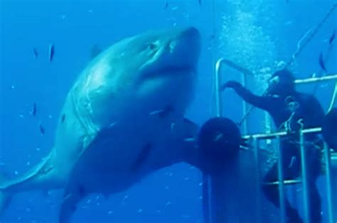 Biggest Paper Boat In The World by World S Biggest Great White Caught On Camera Daily Star