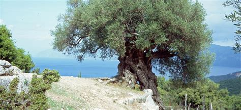 Olivenbaum Im Haus by Olivenbaum Olea Europaea