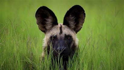 Wild Dog African Phone