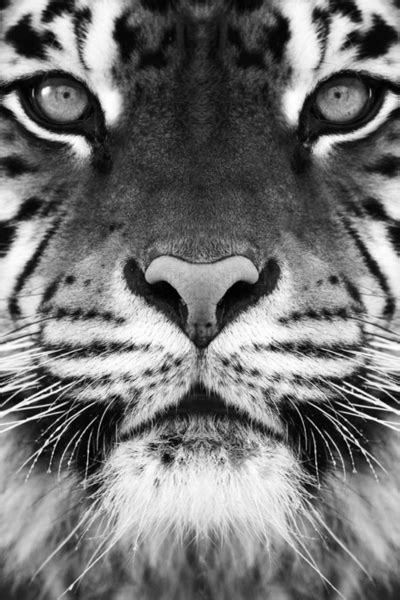 Best Black White Tigers Images Pinterest