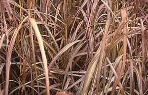 Gräser Zurückschneiden Frühjahr : gartenbedarf versand richard ward restliche stauden ~ Lizthompson.info Haus und Dekorationen