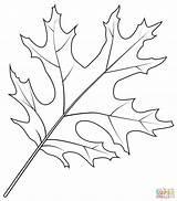 Coloring Oak Leaf Scarlet Printable Leaves Drawing Tree Categories sketch template