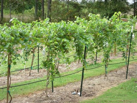 grape tree care muscadines and more llc