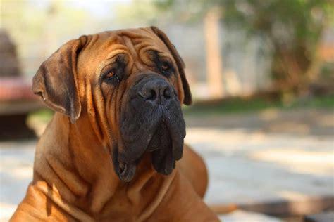 boerboels   breed  aggressive    family dog