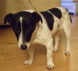 Black and white JRT > Casper – 7 month old male Jack ...