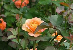 Wann Schneidet Man Rosen : wann rosen schneiden ansteht garten hausxxl garten hausxxl ~ Eleganceandgraceweddings.com Haus und Dekorationen
