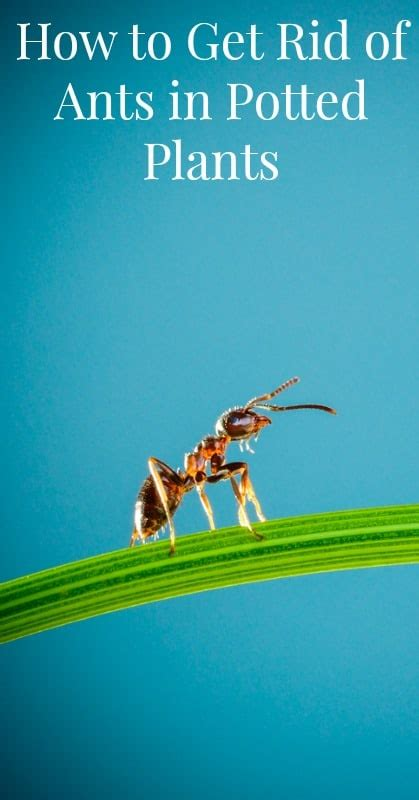 how to get rid of small ants in kitchen how to get rid of ants in potted plants