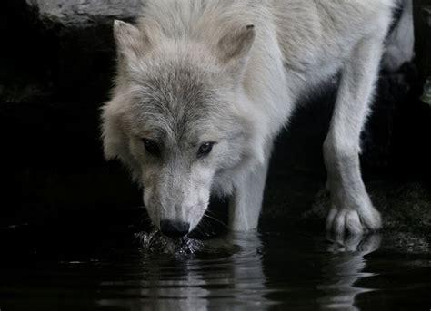 energia vital lobo animal de poder parte