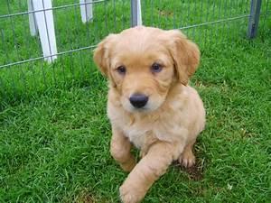 Beautiful dark Golden Retriever pups for sale | Umberleigh ...