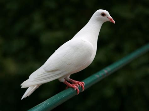 dove wallpapers hd pictures one hd wallpaper pictures