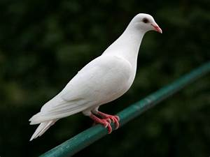 Doves Wallpapers – One HD Wallpaper Pictures Backgrounds ...