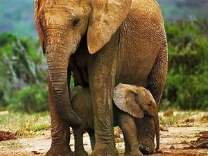 Elefantes / AnimaNaturalis