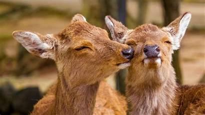 Deer Funny Animals Wildlife 1080p Background Fhd