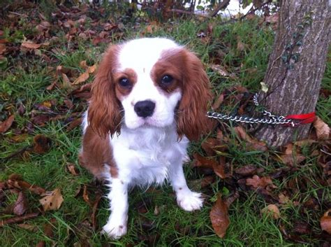 jerry 7 mois chiot cavalier king charles 224 adopter dans la r 233 gion bretagne