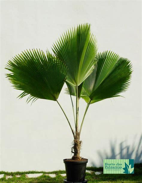 Enquanto em pequeno porte, a palmeira leque pode ser usada ...