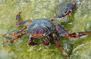 True Crabs