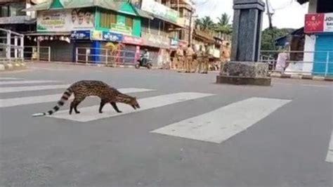Wild animals wander through deserted cities under Covid-19 ...