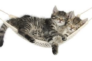 Sleeping Tabby Cat Kittens