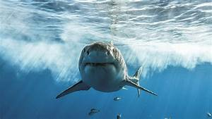 What To Know About Sharks  Shark Week  Sharkfest  Danger