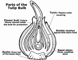 Teaching Suggestions  Tulip Bulbs  Inside And Out