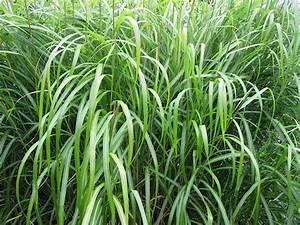 Pflanzen Bewässern Mit Plastikflasche : chinesisches schilfgras pflanzen f r nassen boden ~ Markanthonyermac.com Haus und Dekorationen