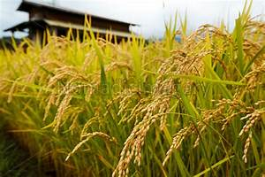 Oryza Sativa Asian Rice Plants Ready For Harvesting