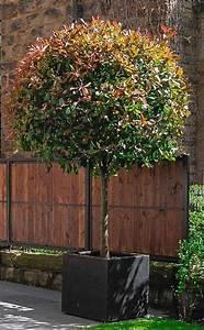 Red Robin Baum : 29 besten laubb ume mit bl tterkrone in kugelform bilder auf pinterest laubbaum beliebt und reden ~ Frokenaadalensverden.com Haus und Dekorationen