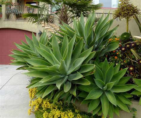 where to buy agave plants agave attenuata buy online at annie s annuals