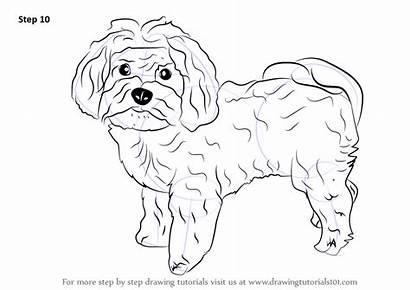 Maltese Dog Draw Step Drawing Dogs Tutorials